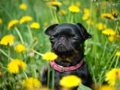 A small black dog sits on the green grass with yellow dandelions . Petit Brabancon. Close-up and selective focus