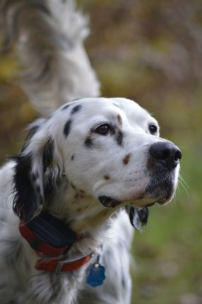 english setter Allergy, Atopic.. Alergia. Health