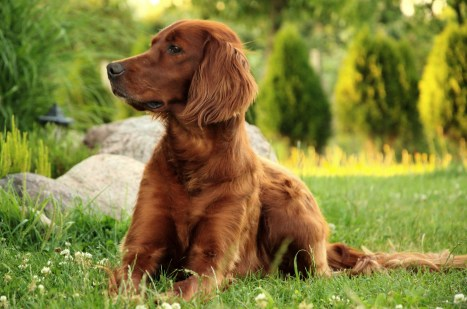 Irish setter Allergy, Atopic.. Alergia. Health