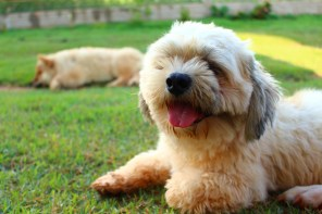lhasa apso Allergy, Atopic.. Alergia. Health