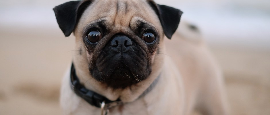 Pug Allergy, Atopic.. Alergia. Health