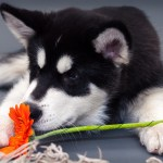 Dog allergies. Atopic allergy. allergic reaction. Prevention. Puppy and flower