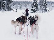 mushing -dog sledding race Cosmodoggyland