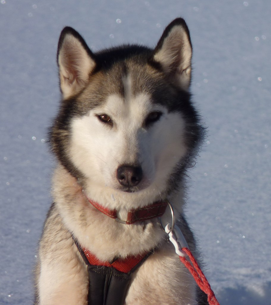 Siberian husky dog posing for a picture - Cosmodoggyland Interview Series