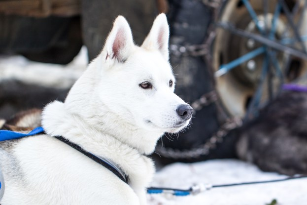 Photo Credit: Natalie Siebers. Courtesy of Ken Haggett from Peace Pups Dogsledding