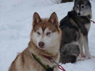 Siberian huskies Sled dog - Cosmodoggyland Interview Series