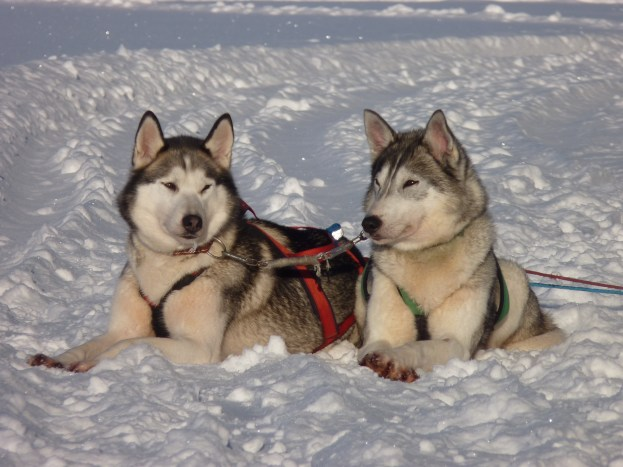 Two huskies enjoying the sun on the snow - Cosmodoggyland Interview Series