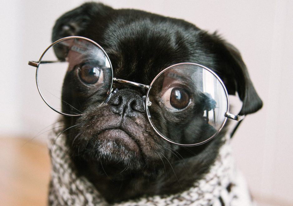 cute pug wearing glasses. Senior dogs 101
