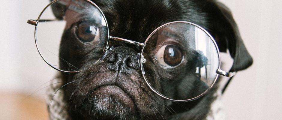 cute pug wearing glasses. Senior dogs 101