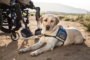 Service dog with bilateral leg amputee veteran