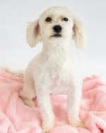Maltipoo Dog - Tips for care