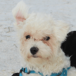 Leopold - Maltese dog at the beach