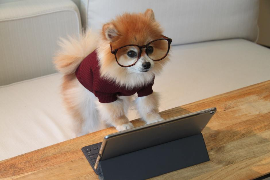Pomeranian dog with glasses reading iPad