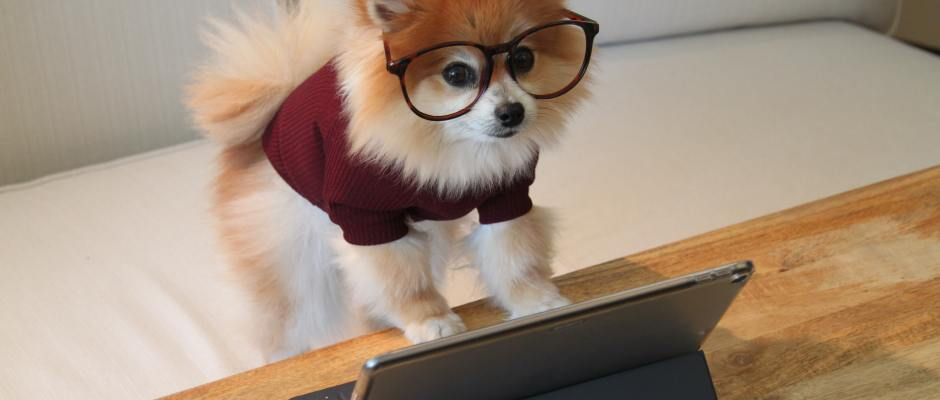 Pomeranian dog with glasses reading iPad