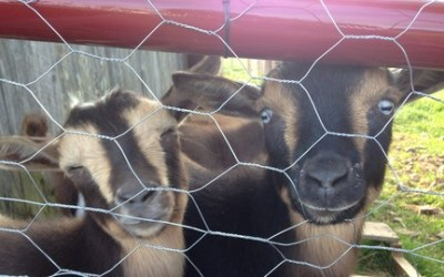 How to Get Started Raising Goats