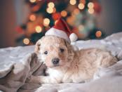 puppy with christmas hat in front of tree
