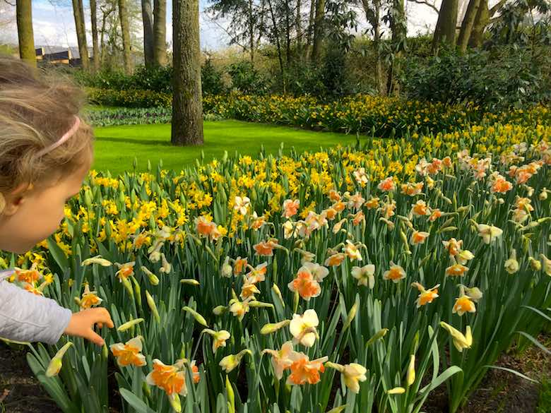 Little girl that can't resist to pick a daffodil from a bed full of yellow flowers at Keukenhof Gardens in Holland