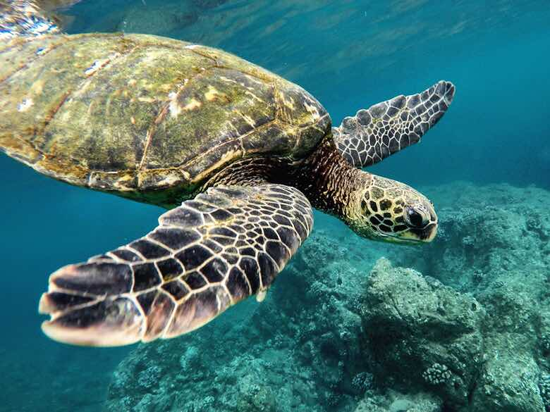 Underwater picture of a sea turtle swimming in the ocean