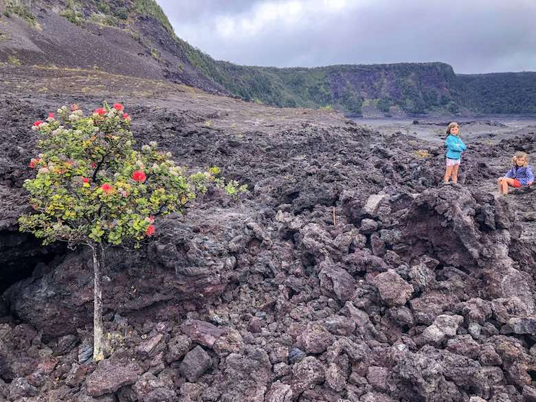 Blossoming ohia tree amids black lava in the Kilauea Iki crater in Hawaii Volcanies National Park