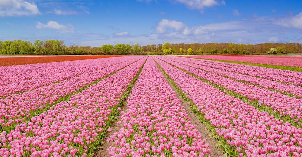 Tulip fields in the Netherlands as far as the eye can see