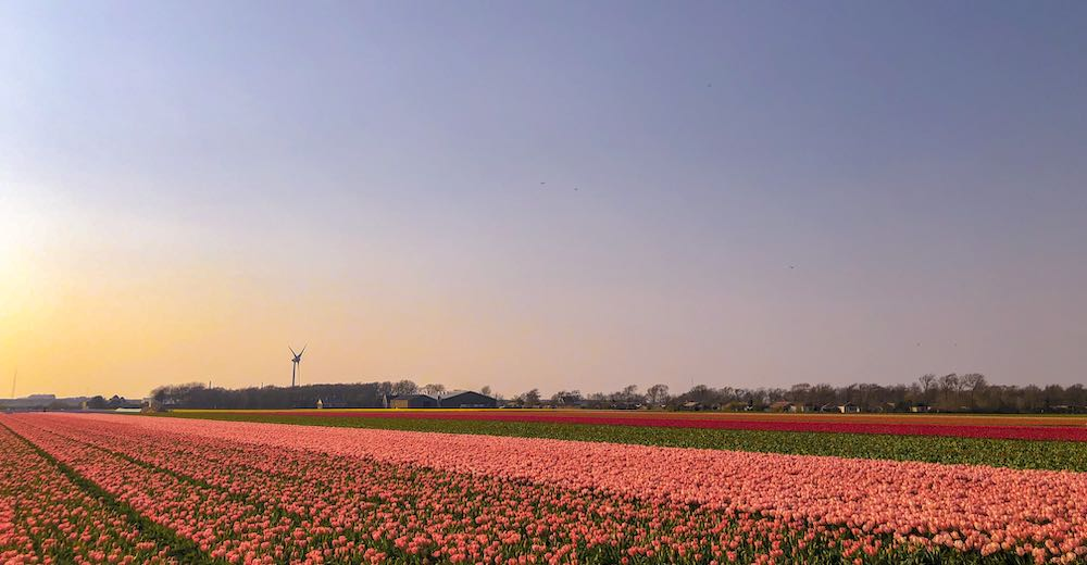 Sunset over orange tulip fields in the Netherlands