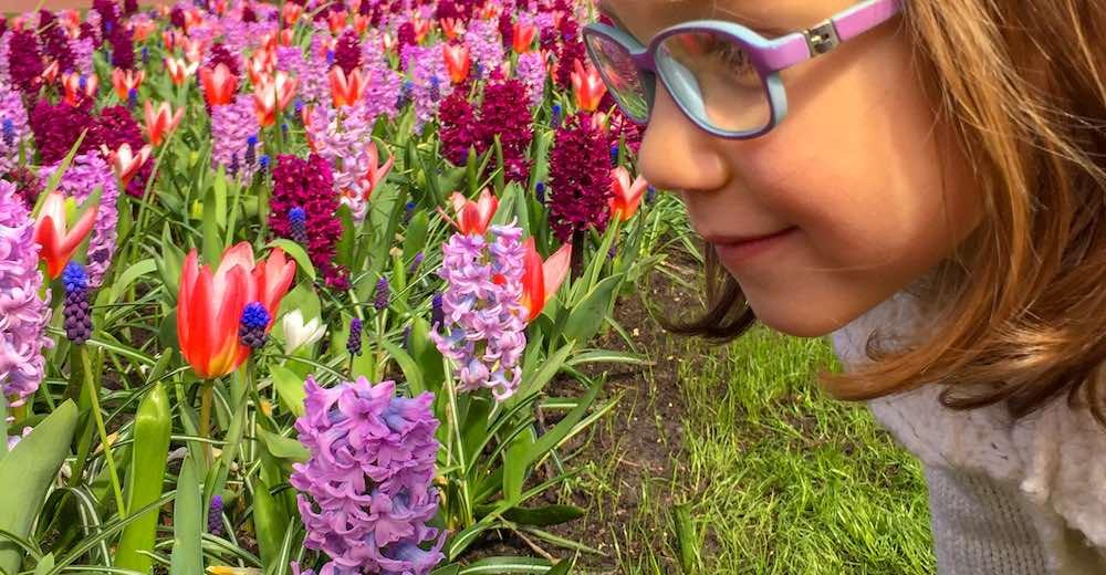 Little girl smelling the purple hyacinths at Keukenhof Gardens Amsterdam