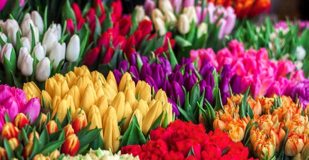 Bouquets of colorful Netherland tulips