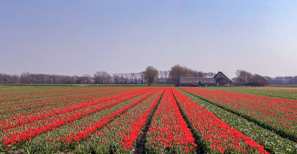Holland field of tulips in red hues