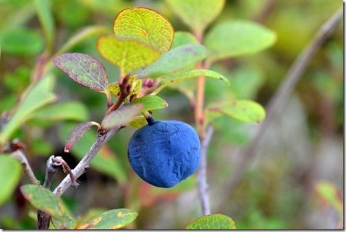 Berry Picking on the Tundra | Cosmopolitan Cornbread