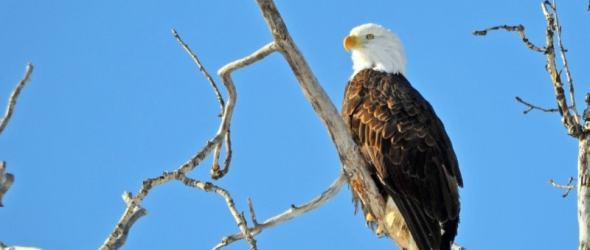 Our latest visitor, a Bald eagle