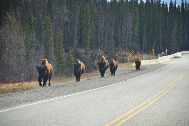 PCS 2013: Day 4   To Fort Nelson, British Columbia … WILDLIFE!
