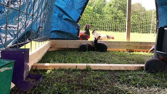 How to build an easy cattle panel structure for a greenhouse, chicken house, rabbit house or whatever your homestead needs may be.