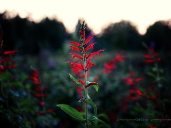Pineapple Sage | Cosmopolitan Cornbread Photography