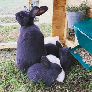 American Blue Rabbits