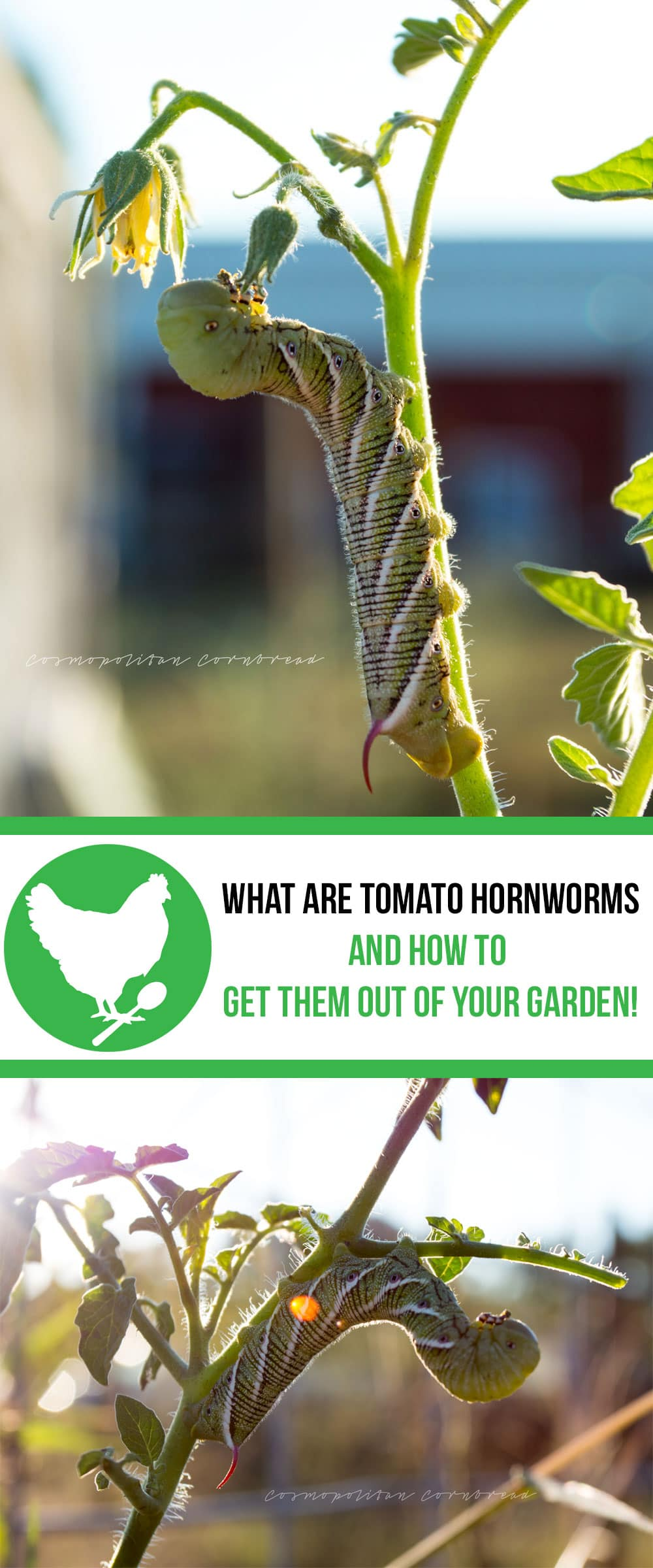 What are Tomato Hornworms?! Find out what they are and how to get them out of your garden from Cosmopolitan Cornbread.