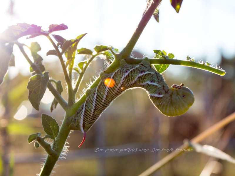 Hornworms: Tomato-Murdering Beasts!