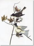 Audubon's sketch of the Eastern Phoebe