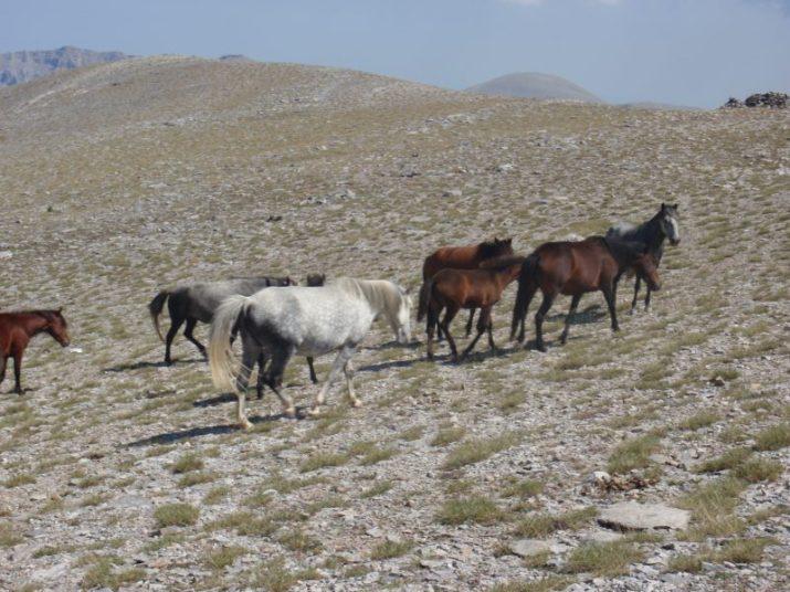 Άγρια άλογα στο οροπέδιο των μουσών