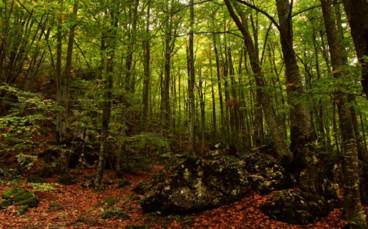 Greece-Olympus-Δάσος από οξιές