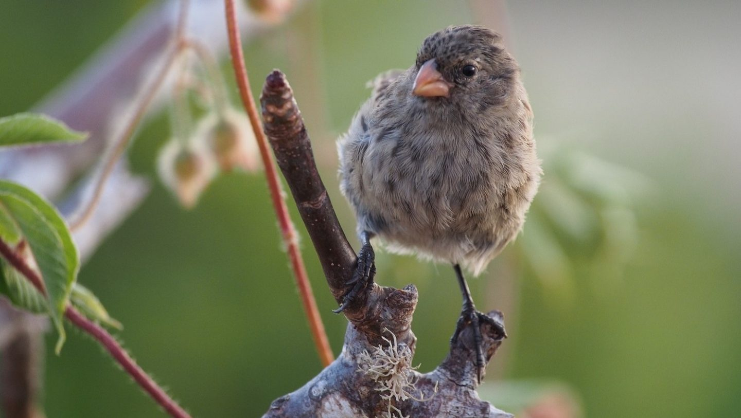 Darwin S Finches Inform And Confuse