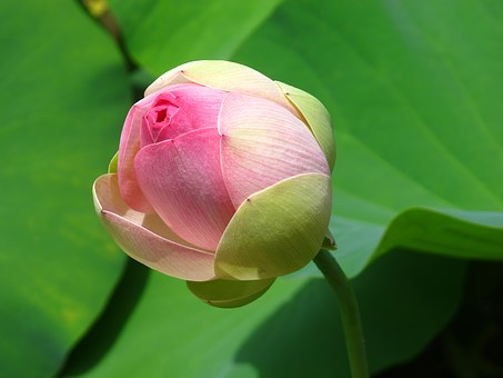 water-lily-1364465__340