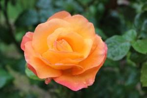 rose-2461894_1280