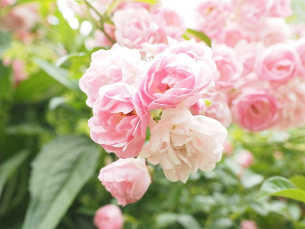 roses-2117411_1280