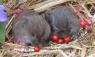 Monogamous Prairie Voles