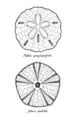 Sand dollar and sea urchin test - pen and ink
