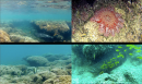 Top left: whitetip reef shark (Triaenodon obesus) Top right: crown-of-thorns starfish (Acanthaster planci) Bottom left: Moorish idol (Zanclus cornutus) Bottom right: goliath grouper (Epinephelus quinquefasciatus)
