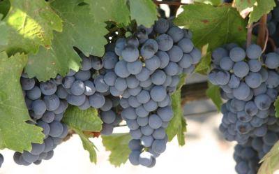 Beautiful grapes make a beautiful wine.