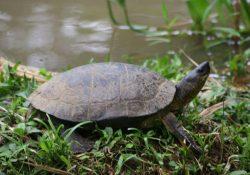 Cano negro Happy Turtle