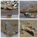 Crocodile 2