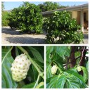 Noni Trees and Fruits